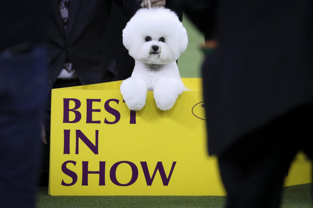 142nd westminster kennel club dog show the boston globe
