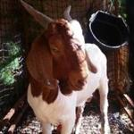 A fugitive goat named Brady (a.k.a. the Tewksbury goat) has finally been captured.