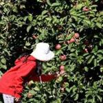 C.N. Smith Farm is among the Massachusetts orchards offering pick-your-own apples.