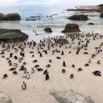 Boulders Beach, home to the endangered African Penguin.