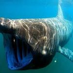A basking shark opens wide to feed.