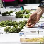 A visitor picked up marijuana samples on display during the 4th Annual New England Cannabis Convention in Boston.