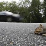 Brentwood, NH--9/13/2018-- A dead squirrel is seen on the side of Route 125 in Brentwood, NH. (Jessica Rinaldi/Globe Staff) Topic: 14squirrels Reporter: