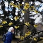 BOSTON, MA - March 19, 2019: - Witch Hazel flowers bloom at the Boston Public Garden in Boston, MA on March 19, 2019. (This year, spring arrives on March 20 at 5:58 p.m. While this is the date of astronomical spring, climatologically, spring started three weeks ago, and will end May 30. Although it was cold and relatively snowy the first half of this month, the angle of the sun has been getting higher and higher. The strength of the solar radiation this time of year is the same as it would be on the first day of fall in late September — quite powerful.) (Craig F. Walker/Globe Staff) section: Metro reporter: