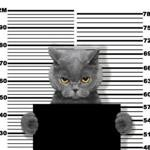 Bad cat at the police station. Photo on white background