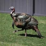 A pregnant Cambridge woman recently said she was attacked by a group of aggressive turkeys while out for a walk.