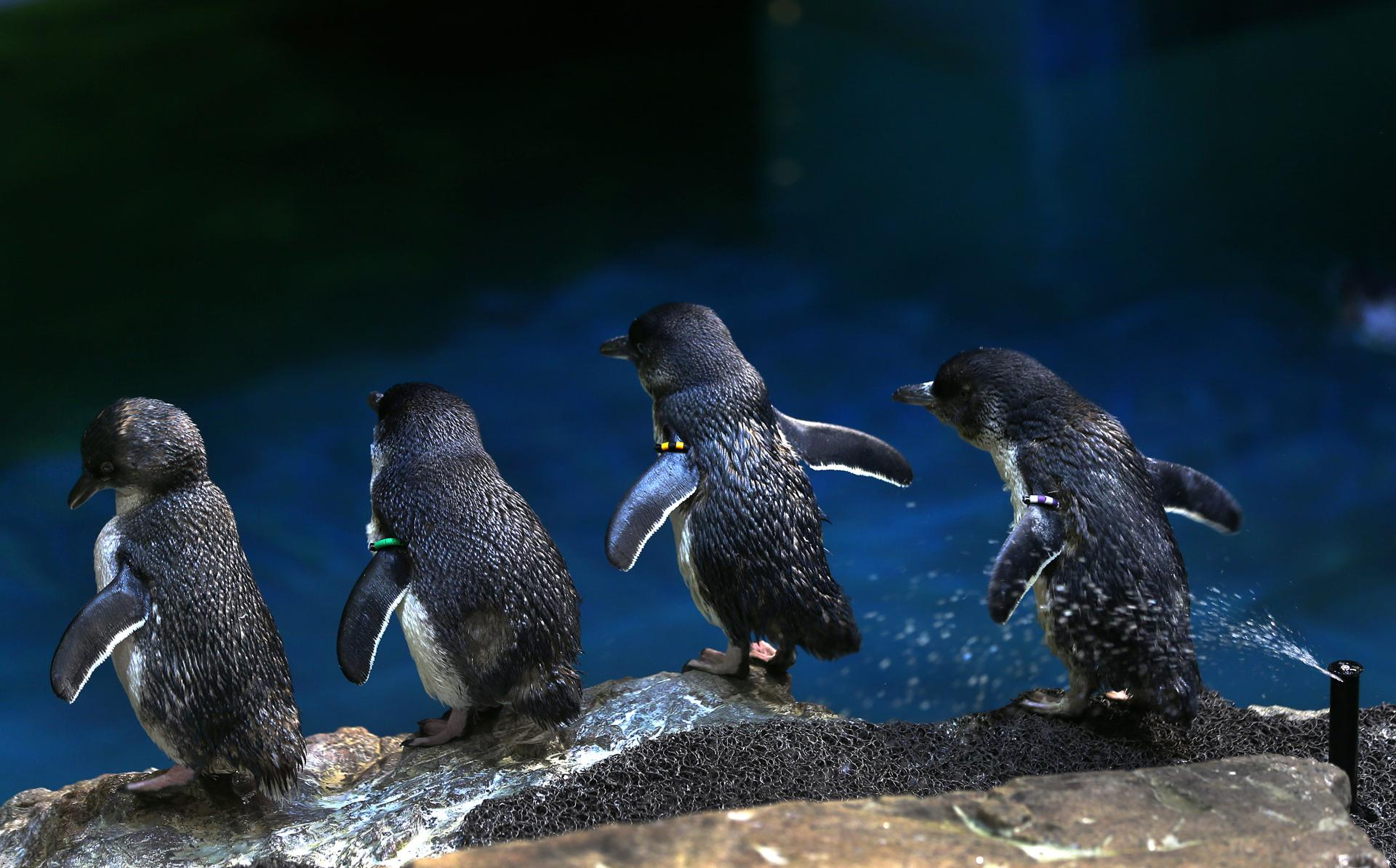 Adult Little Blue Penguins sit on a rock at an exhibit in the New England Aquaruim.