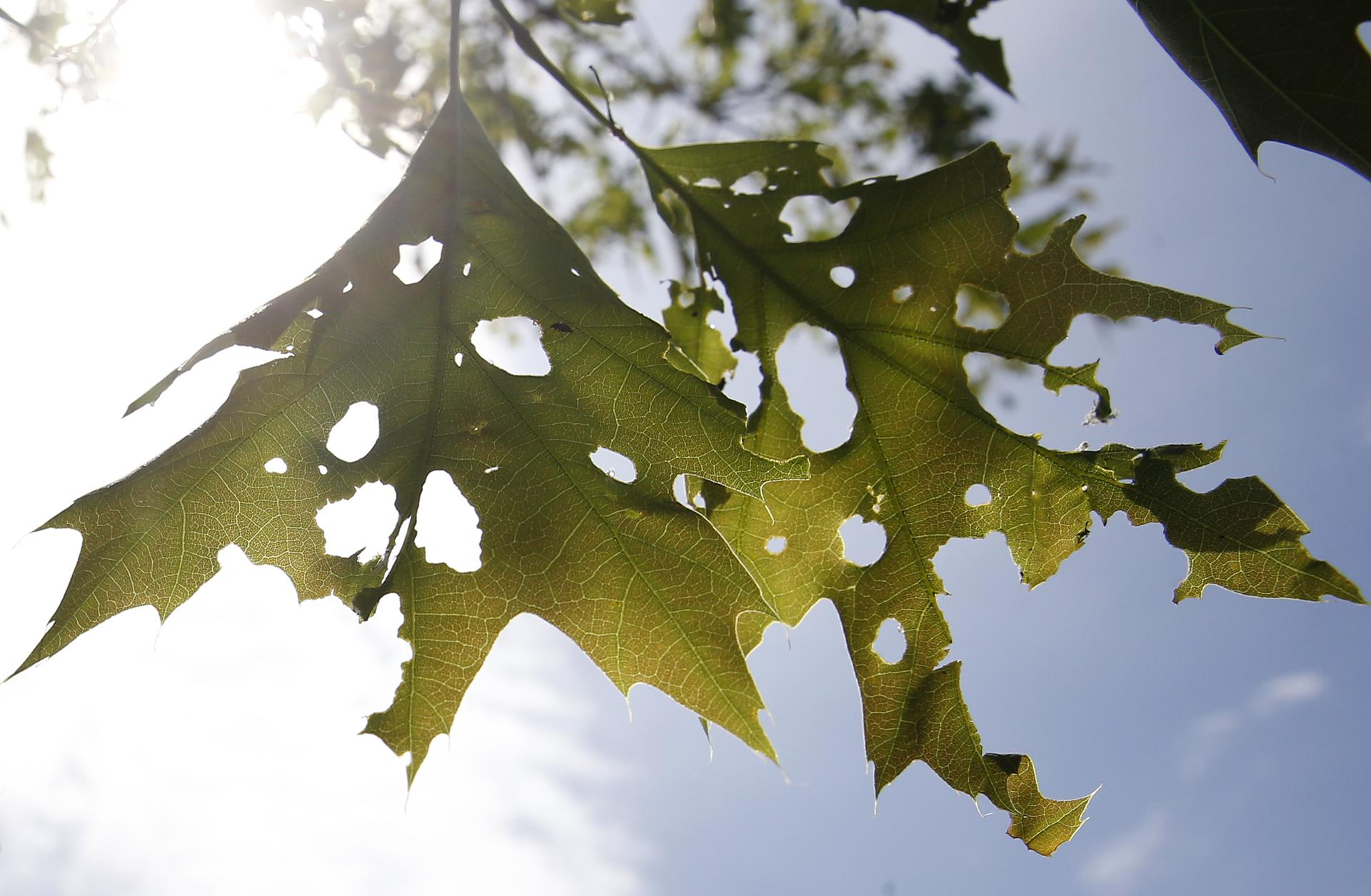 tiny famished winter moth caterpillars wreaking havoc on trees