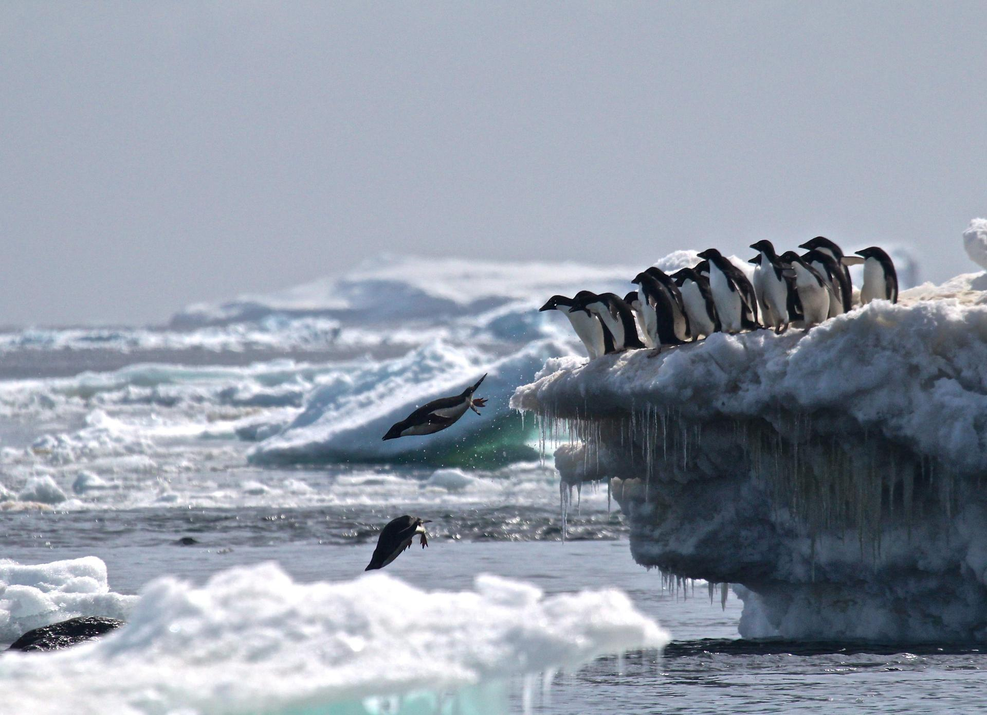 Adélie penguins leapt off an iceberg at Danger Islands in Antarctica. Researchers led by the Woods Hole Oceanographic Institution on Cape Cod discovered a supercolony of 1.5 million of the penguins, a species that biologists previously believed to be declining.