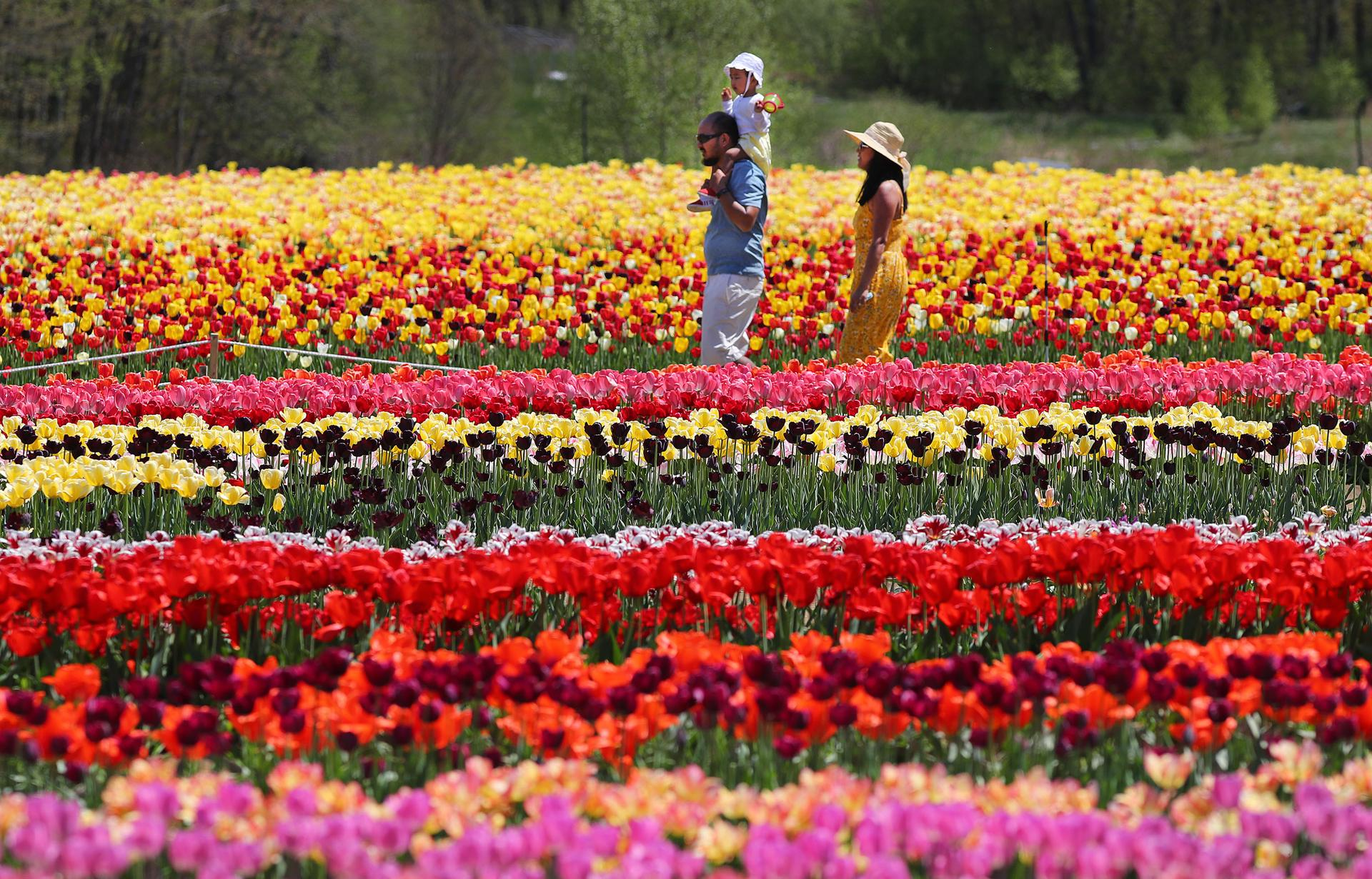 People walked through the tulips at Wicked Tulips Flower Farm in Johnston, R.I., on Wednesday.