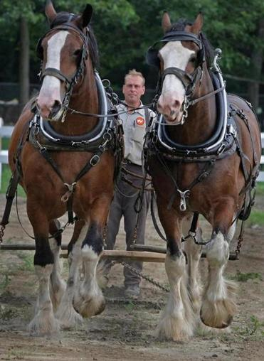 Ned Niemiec, who manages the Barrys' farm in Lakeville, works with Major (left) and Captain. At top, a team of eight Clydesdales decked out in parade finery pull a 19th-century-style wagon.