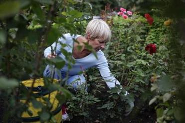 Donna Williams in a rose bed near the garden's Charles Street entrance. Over 25 years, many of the volunteers have learned at Altman's side all about roses.