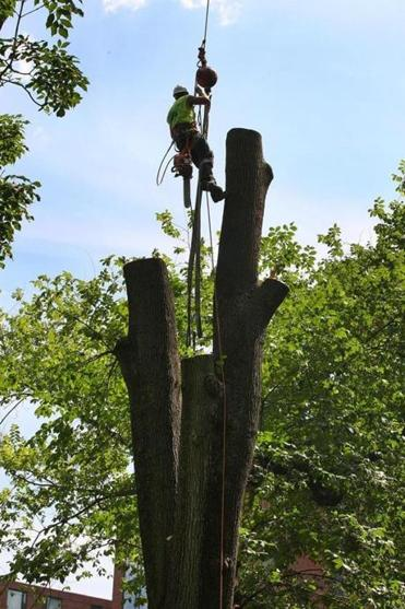 A century-old elm near the Charles Sumner statue was cut down piece by piece Wednesday in the Public Garden.