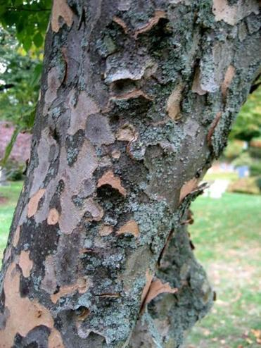 Mottled bark of Japanese stewartia.