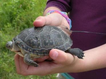 This turtle was head-started by students at the Ephraim Curtis Middle School in Sudbury.