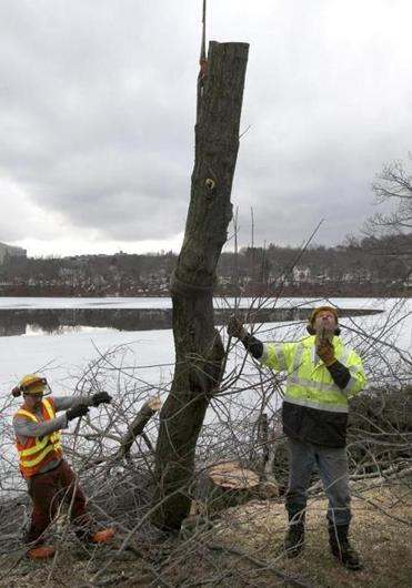 A crew from Northern Tree Service removed a tree in Shrewsbury infested by beetles on Thursday.