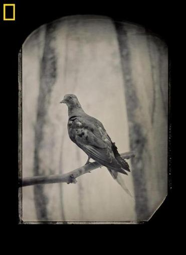 Billions of passenger pigeons once populated the skies of the eastern part of North America. The last one, Martha, died at the Cincinnati Zoo in 1914. Geneticists now think they may be able to resurrect the species.
