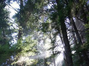 Sun filtered through mist in the forest of the Cape Perpetua Scenic Area.