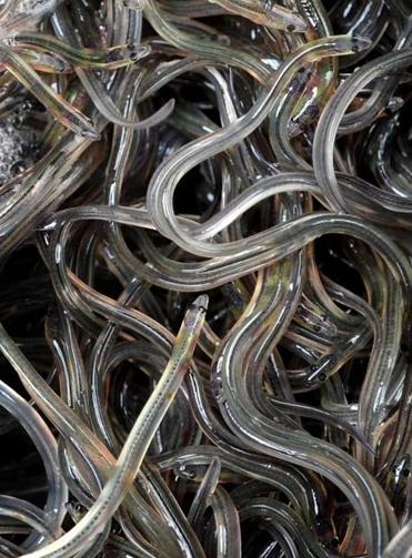 These glass eels were caught in Maine's Penobscot River.