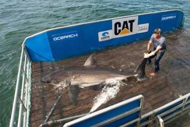Brett McBride worked on the shark lift with a female great white the ship's crew named Betsy.