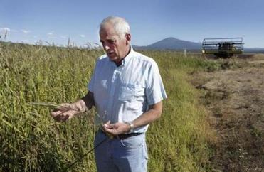 George Denny checked out wild rice ready to be harvested.