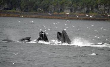 29alaskacruise - Humpback whales are bubble net feeding in southeast Alaska. (Pamela Wright)