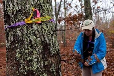 UMass Amherst graduate student Monica Davis, who is studying environmental conservation and doing her master's thesis on the gall wasp infestation, looks for signs of the pest on a black oak tree in the Polly Hill Arboretum in West Tisbury.