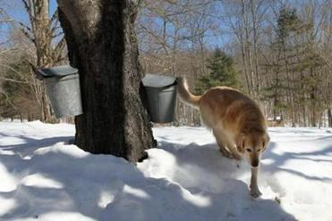 Sasha, a golden retriever, kept watch at Maple Ledge Farm in Sturbridge, where sap is collected from buckets and tubes.