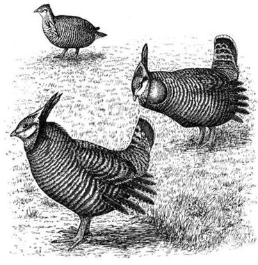 A woodcut showing heath hens, with two males in the foreground and a female in the background.