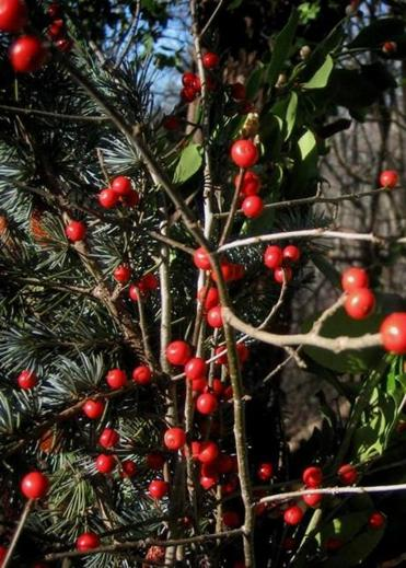 The red berries from holly and the sap from poinsettia plants can cause discomfort if ingested.