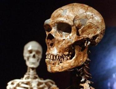 Closer cousins? A reconstructed Neanderthal skeleton (right) and a modern human skeleton (left).