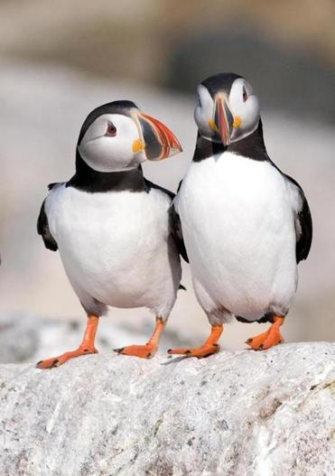 "A photo from ""Project Puffin: The Improbable Quest to Bring a Beloved Seabird Back to Egg Rock."""