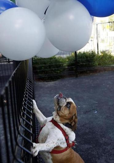 Mack was very interested in the balloons at the ribbon-cutting ceremony.