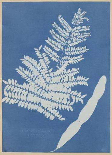 "Anna Atkins's ""Honey Locust Leaf Pod."""