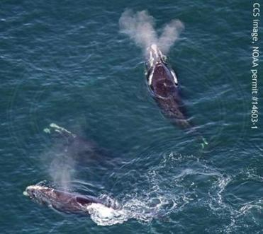 There has been an increase in the number of North Atlantic right whales in Cape Cod Bay.