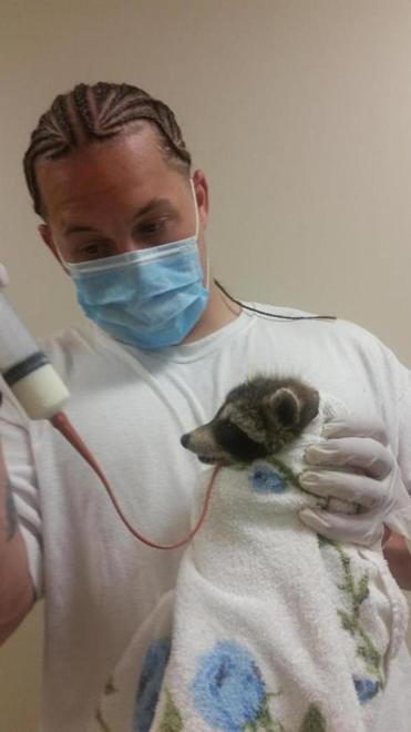 Jason Campbell tube feeding a baby raccoon at the New England Wildlife Center in Weymouth.