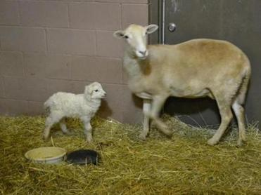 A rescued ewe and her lamb, now in New York.
