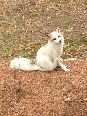 A rare white fox, with a fur-trading ancestry, was caught in ...