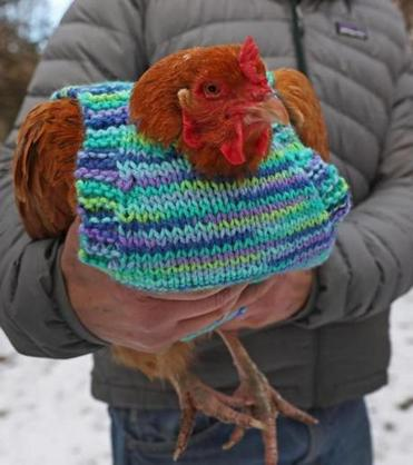 MILTON, MA - 2/02/2017: A group of elderly women knitters from the Fuller Village housing complex have knitted sweaters for Wakefield chickens, roosters and hens. They are a breed native to Malaysia and they shiver even in August. (David L Ryan/Globe Staff Photo) SECTION: REGIONAL TOPIC xxsosweater