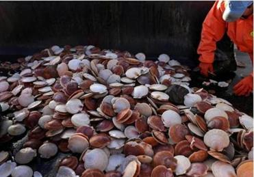 On board the 45-foot Overkill Time, crew member Harlan Simmons worked with scallops just dredged up from the sea.