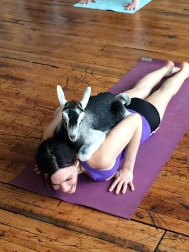 "A class being hosted in Easthampton later this month by Valley Hot Yoga is called ""Goat Yoga For Charity."""