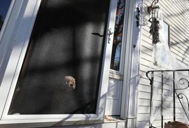 Belmont, Ma., 10/27/17, Ginger the dog watches Pavlina Atanasova decorate her owner's house for Halloween. Suzanne Kreiter/Globe staff