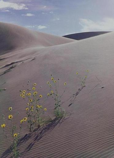 """Sunflower and Sand Dune"" by Eliot Porter."