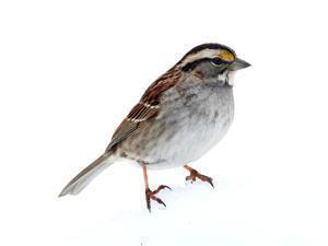 White-throated Sparrow (Zonotrichia albicollis) standing in snow