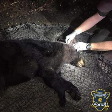 With help from the Newton Police Department, the bear was successfully immobilized by the Mass. Environmental Police.