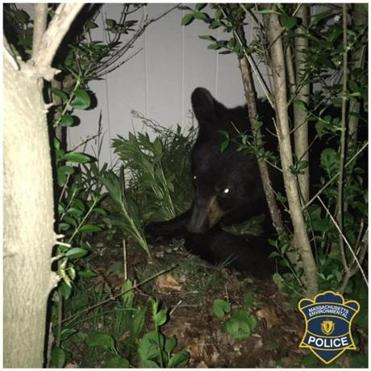 18newtonbear -- On Wednesday, May 16, 2018, Massachusetts Environmental Police officers responded to a call regarding a bear in the City of Newton. Due to the populated location of the bear, MEP officers specially trained in the chemical immobilization of animals responded. With the assistance of the Newton Police Department, the bear was successfully immobilized. Due to its young age, the bear was then transported to a Tufts Wildlife Clinic for further evaluation. (Massachusetts Environmental Police)