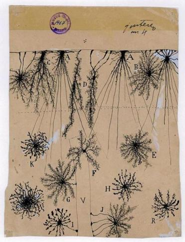 Santiago Ramón y Cajal's rendering of glial cells of the cerebral cortex of a child.
