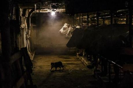 A cat walked past the dairy cows of Norman Davenport as they sit in the barn of his family's farm in Shelburne Falls.