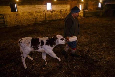 Lisa Davenport led a calf out of the barn with a milk bottle.