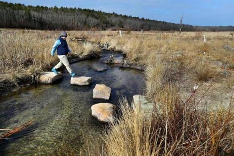 PLymouth-02/14/18 Lauren Kras, a wildlife bioligist walks along stepping stones over Beaver Dam Brook near it's headwater at the former cranberry bogs at the newly opened 450-plus acre Mass Audubon's Tidmarsh Wildlife Sanctuary. The former working cranberry farm underwent the largest freshwater ecological restoration ever completed in the Northeast. Slowly, new wildlife is attracted to the three and a half miles of landscape that was created by removing nine dams to reconnet the headwaters of the Beaver Dam Brook to the ocean. John Tlumacki/Globe Staff(metro)